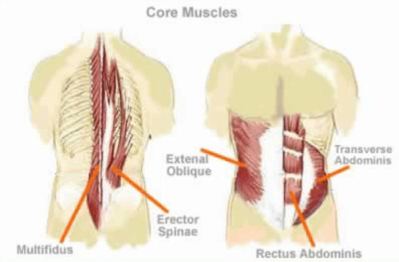 Mavemusklernes anatomi og funktion